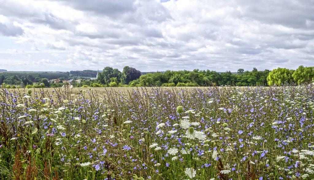 Artenreicher Blühstreifen entlang eines bewirtschafteten Feldes_large.jpg