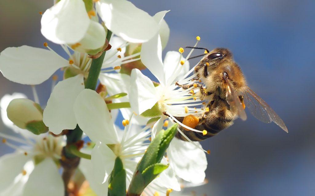 Honigbiene Höschen.jpg