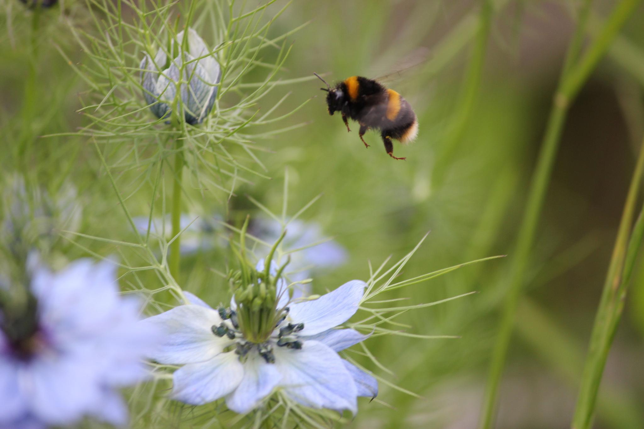 Hummel fliegt Blüte an_large.jpg