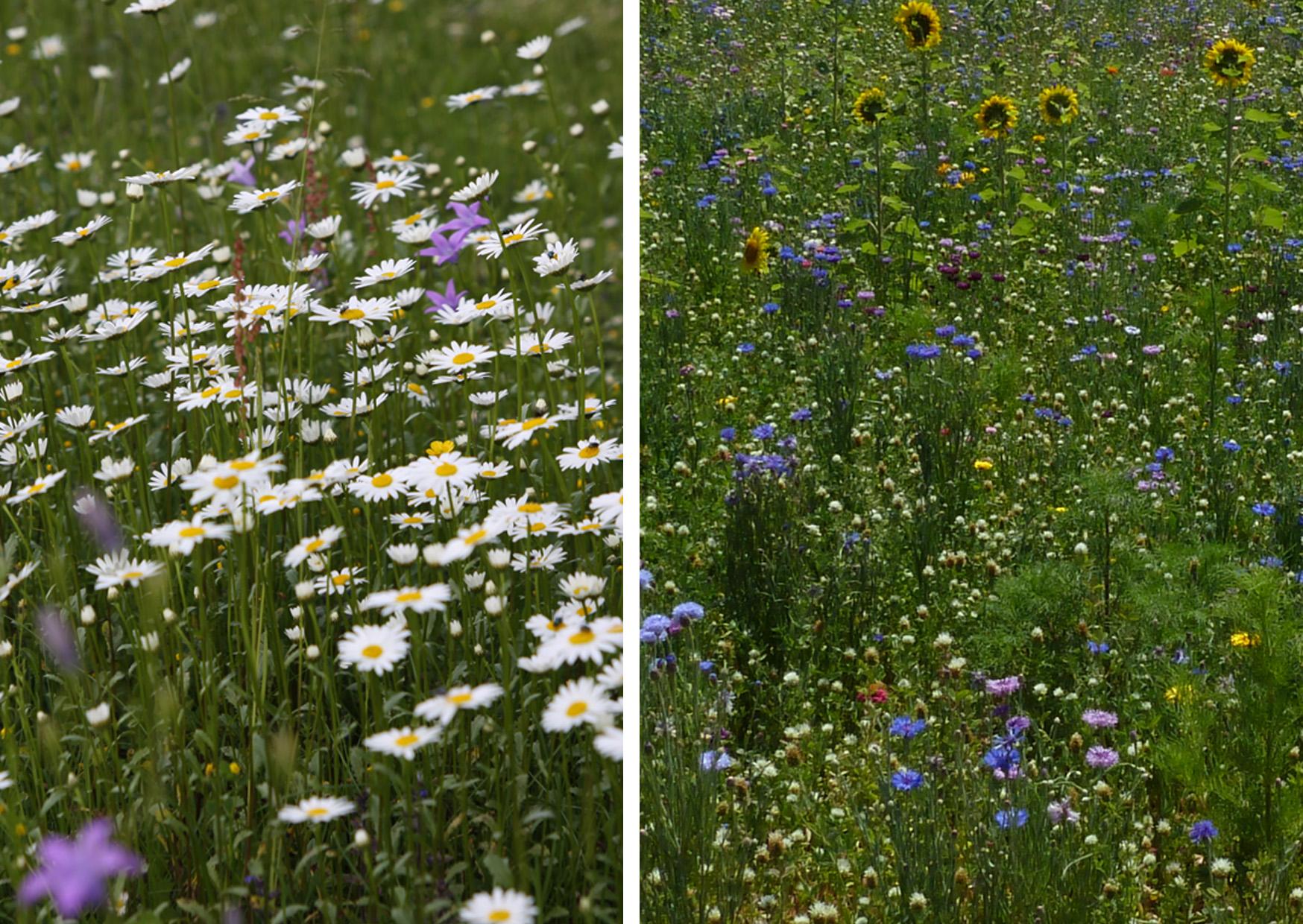 Blumenwiese-Blühfläche.jpg
