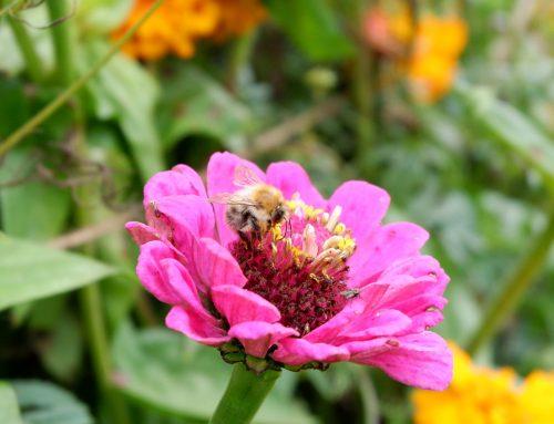 Bienengartenhock im Gemeinschaftsgarten